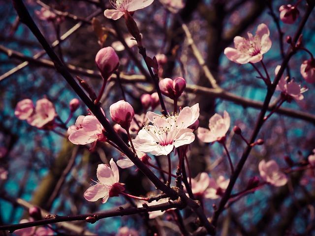 Almond Blossom 1229138 640