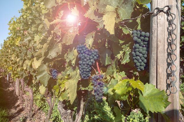 Grapes 460518 640