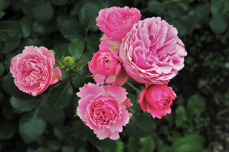 Roses 3481982 960 720
