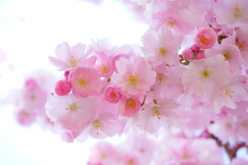 Japanese Cherry Trees 324175  340